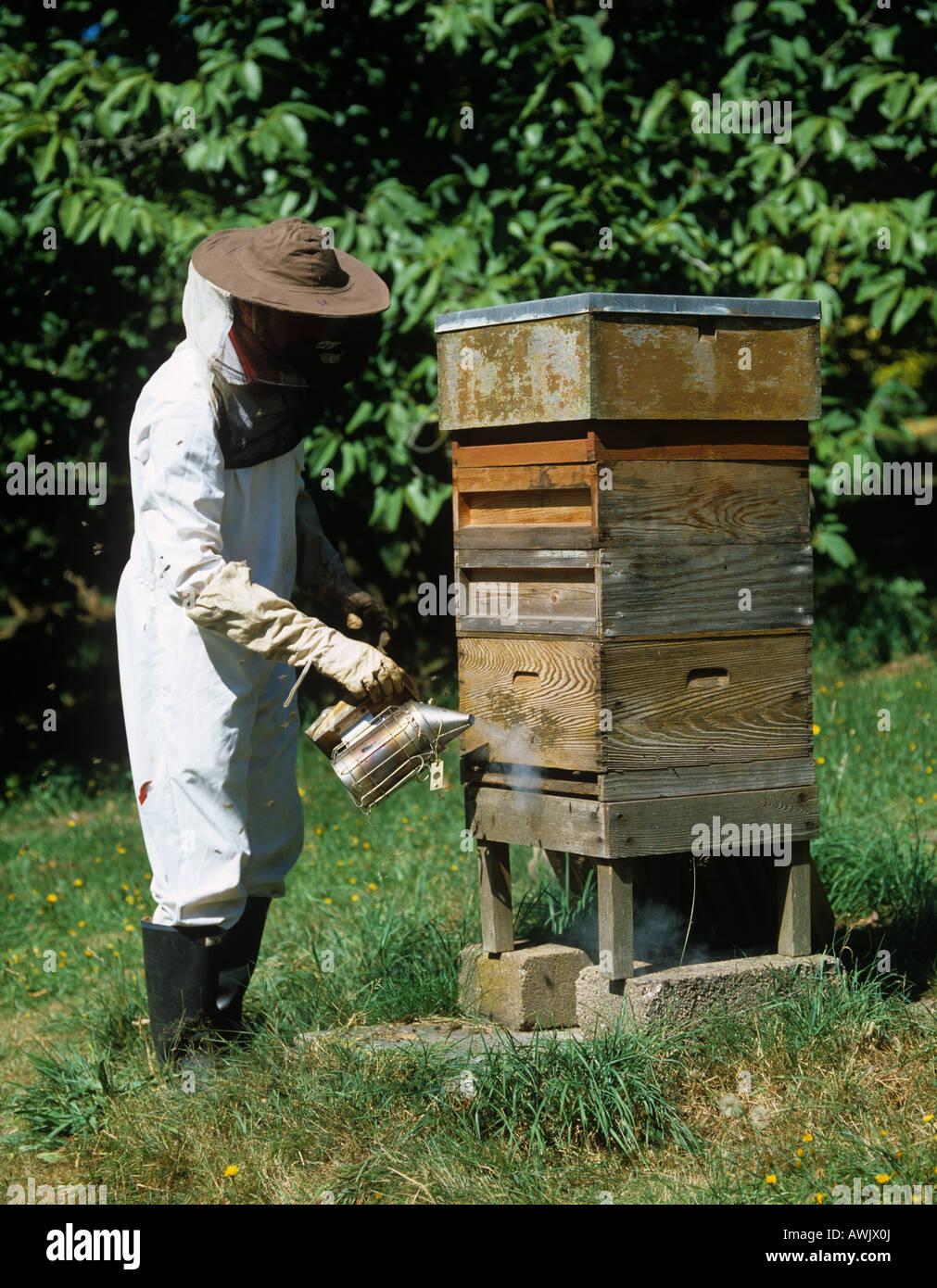 Imker Rauchen über Eingang zum Honig Biene Bienenstock, um die Bienen zu beruhigen Stockbild