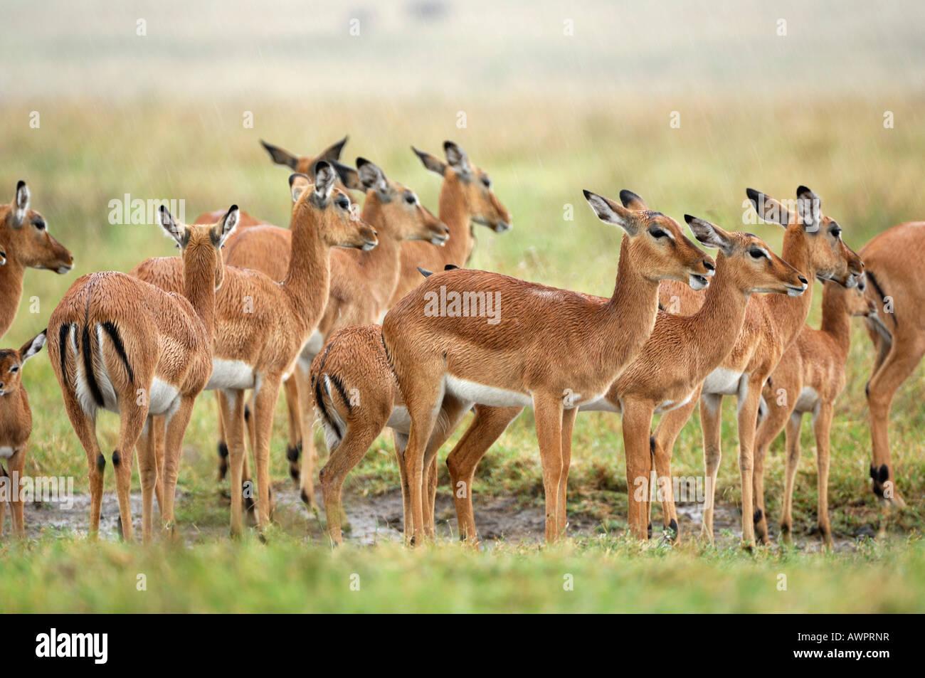 Gruppe von Impalas (Aepyceros Melampus), stehen im Regen, Lake Nakuru, Kenia, Afrika Stockbild