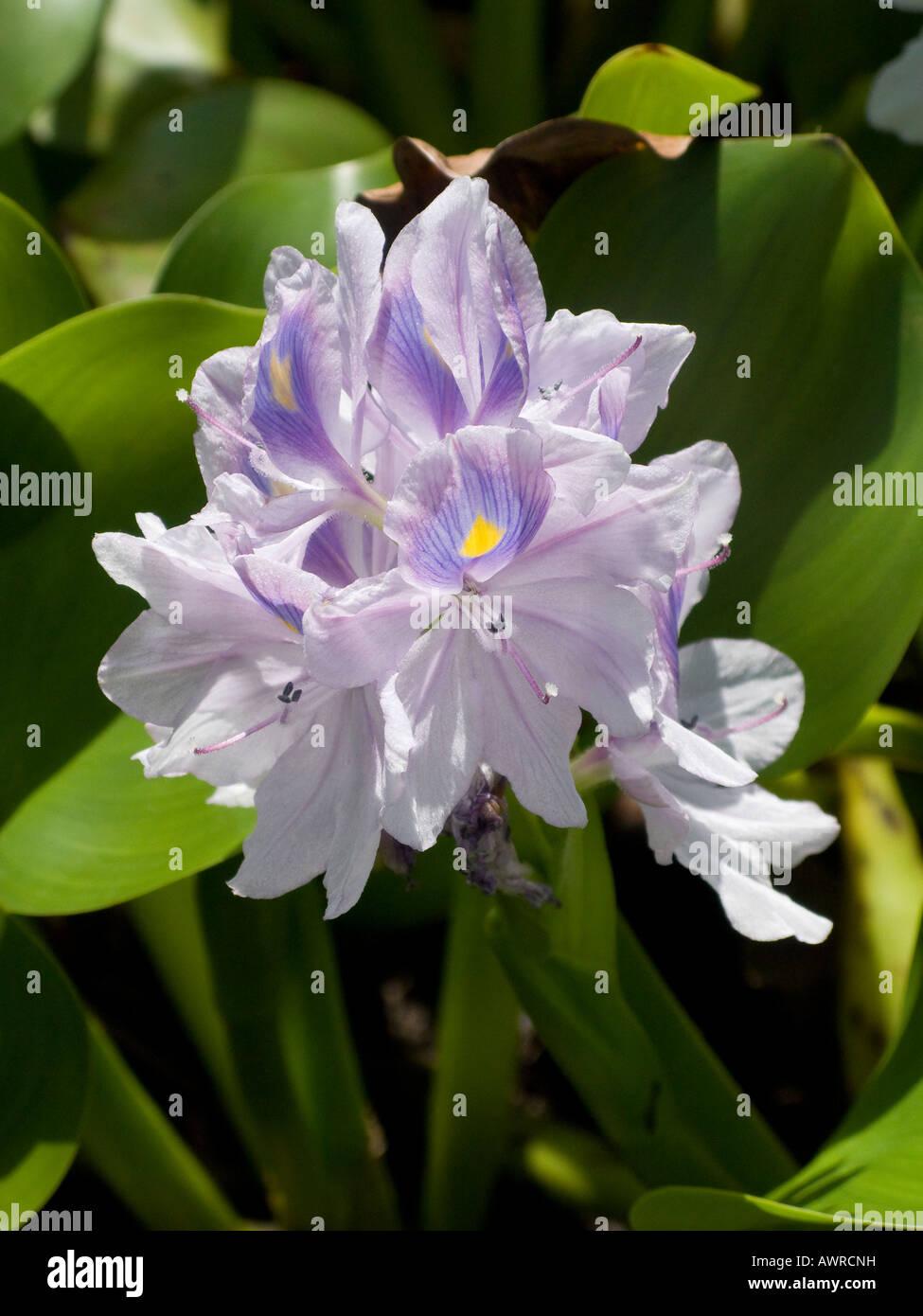 Wasser-Hyazinthe Stockfoto