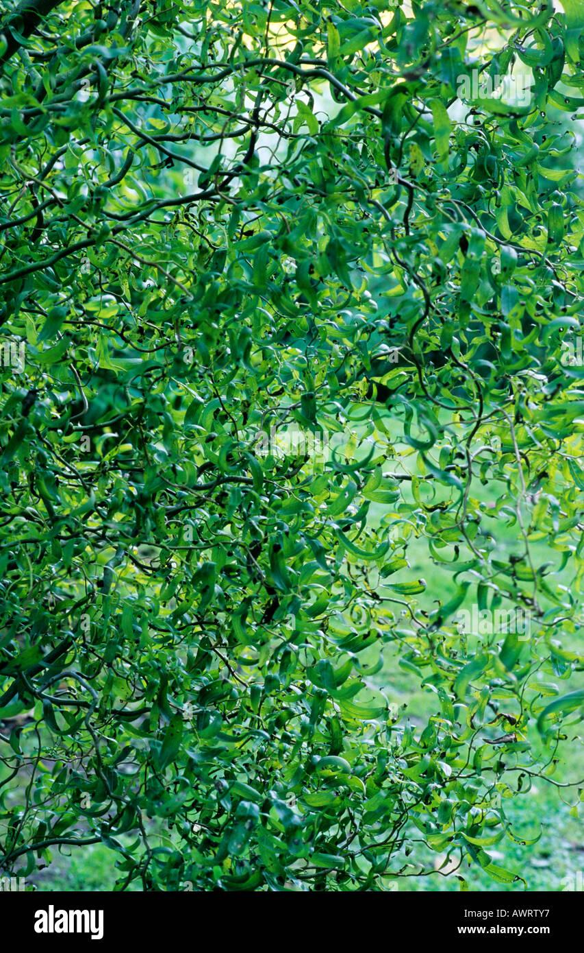 Salix Babylonica Var Pekinensis Tortuosa Weide Weiden Garten