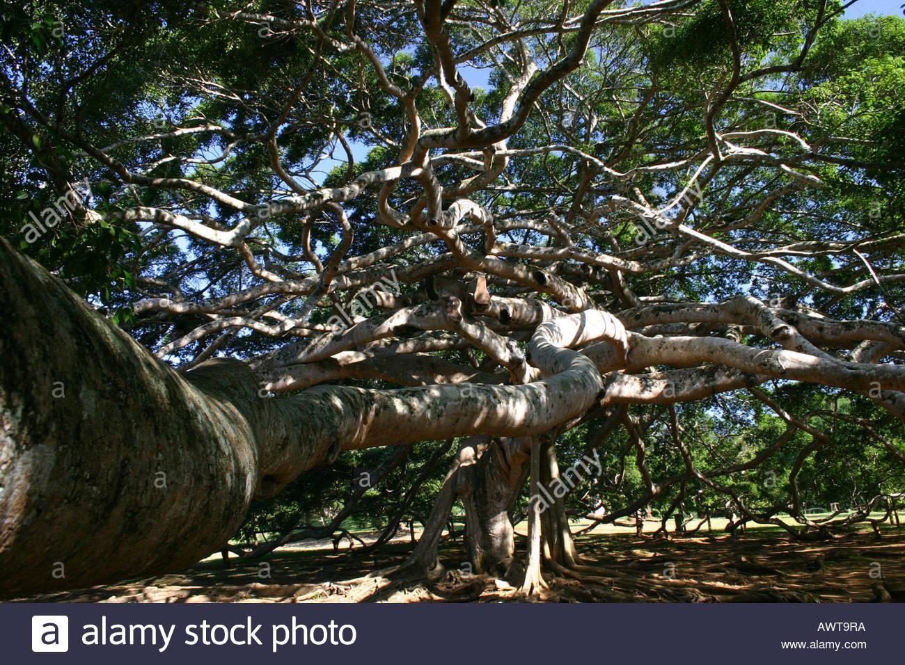 gro en feigenbaum im botanischen garten peradeniya sri lanka asien stockfoto bild 9513785 alamy. Black Bedroom Furniture Sets. Home Design Ideas
