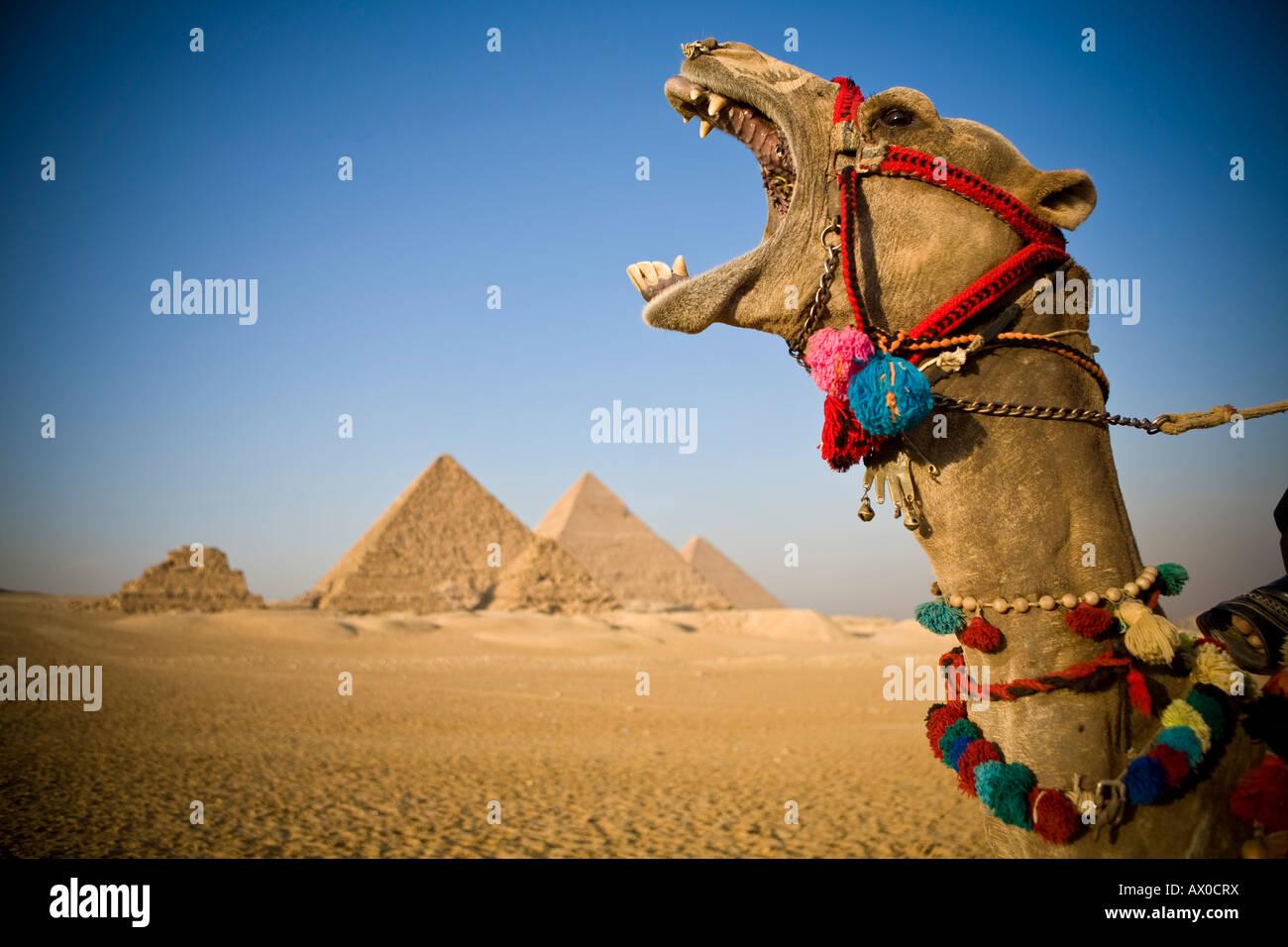 Kamele bei den Pyramiden, Gizeh, Kairo, Ägypten Stockbild