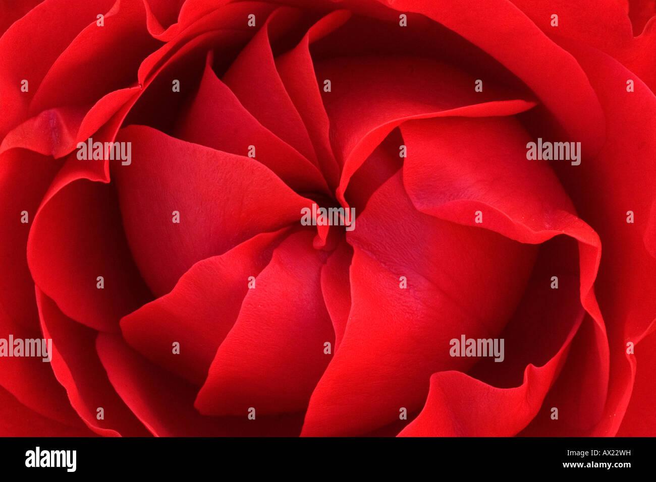 Rote Rose, Ingolstadt, Bayern, Deutschland, Europa Stockbild