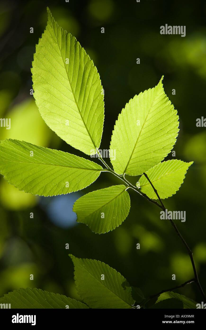 Amerikanische Ulme Blätter Stockbild