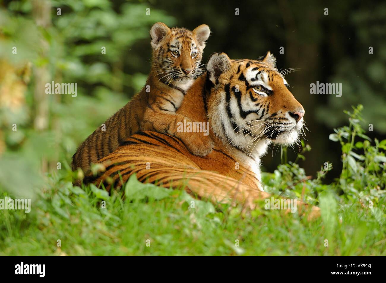 Sibirischer Tiger (Panthera Tigris Altaica) mit Jungtier Stockbild