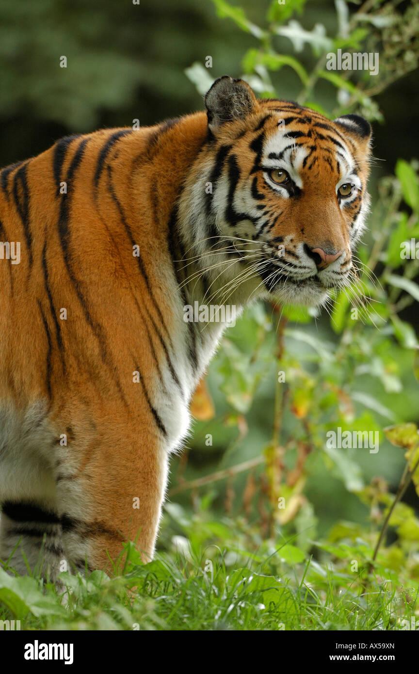 Sibirischer Tiger (Panthera Tigris Altaica) Stockbild