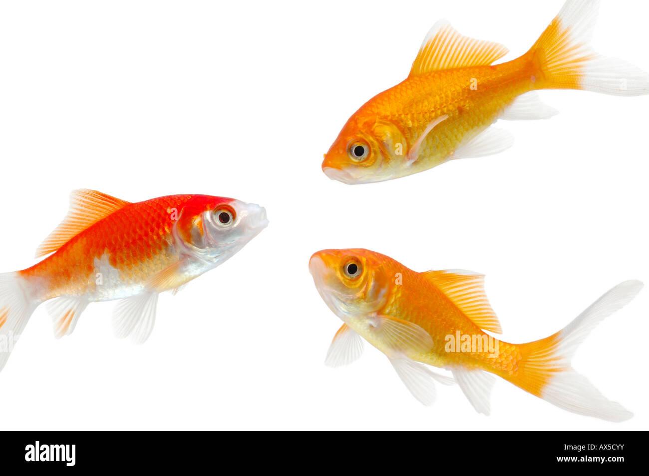 Symmetrisch stockfotos symmetrisch bilder alamy for Bunte goldfische
