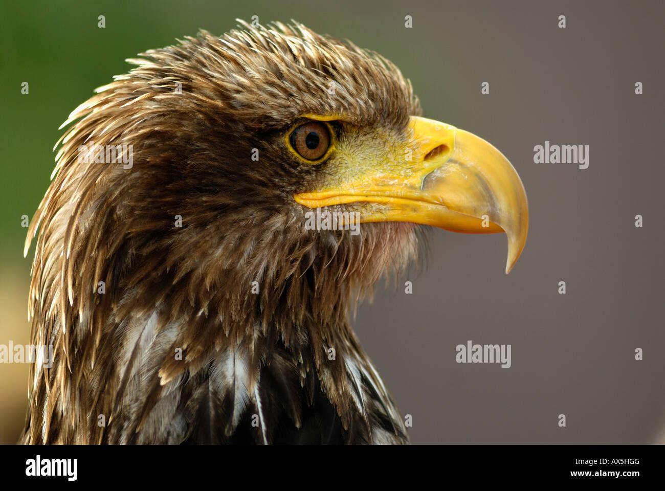 Seeadler (Haliaeetus Horste), portrait Stockbild