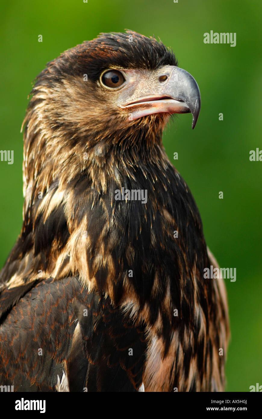 Adler (Aquila) Stockbild