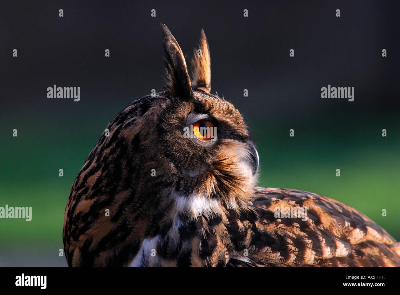 Eurasische Adler-Eule (Bubo Bubo) Stockbild