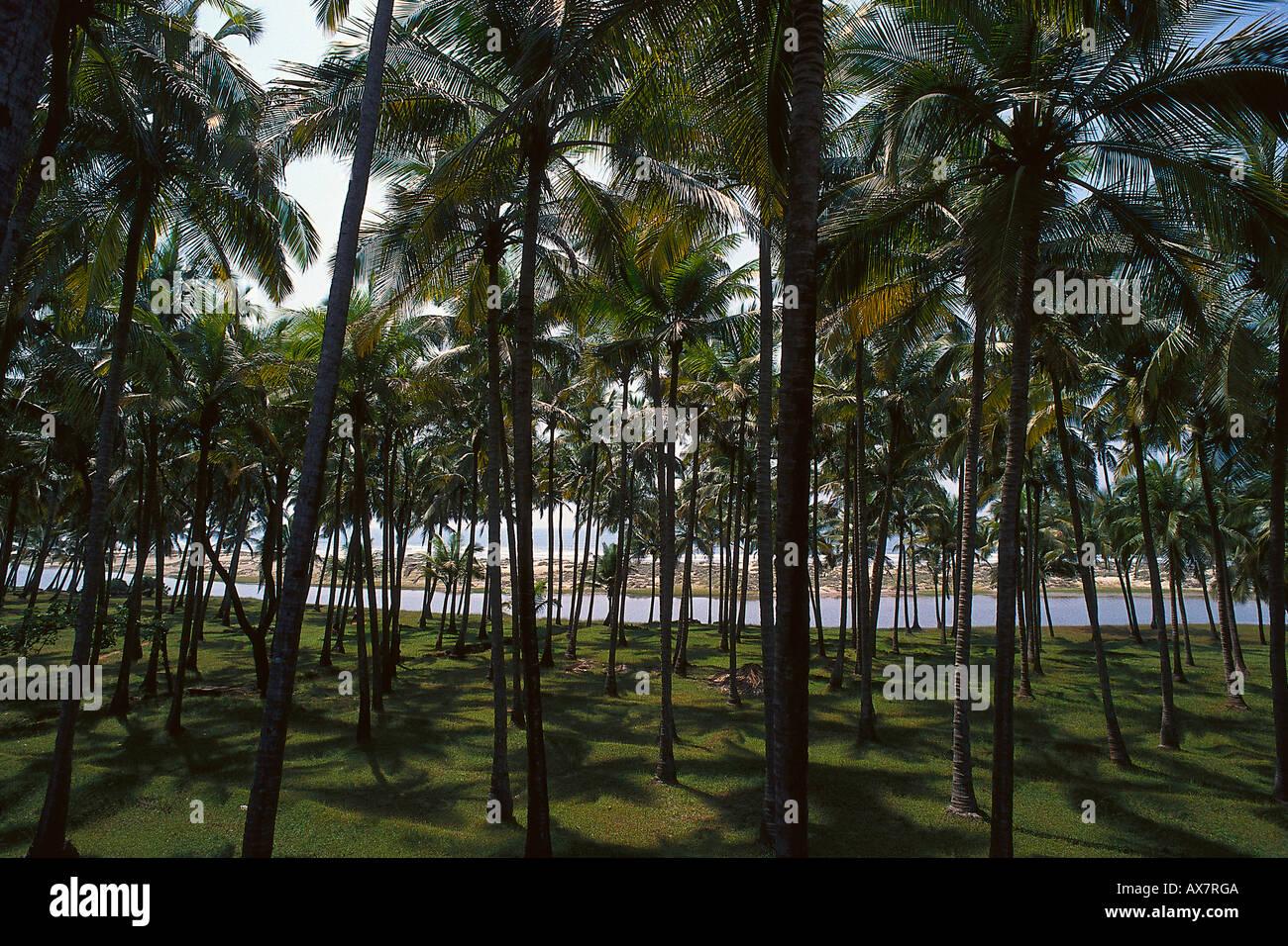 Palmenwald, Arambol Beach, Goa, Indien Stockbild