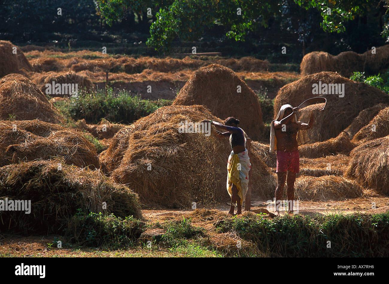 Reisernte, Anjuna, Goa, Indien Stockbild