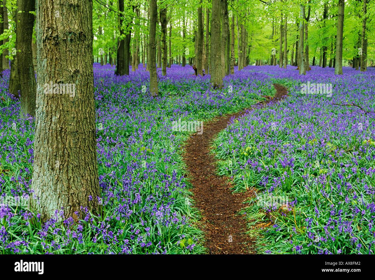 Weg durch Bluebell Holz Bucks UK April Stockbild