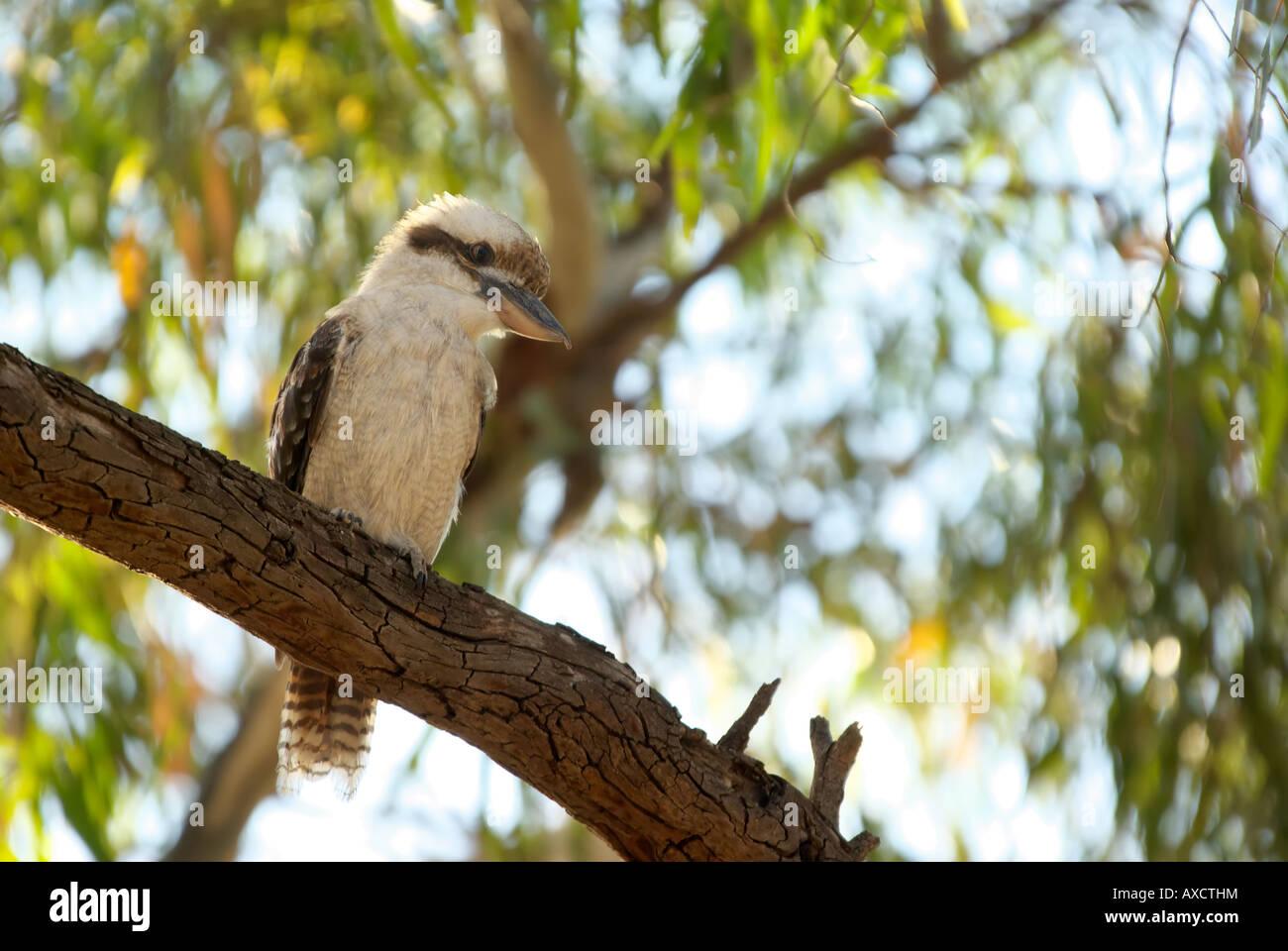 eine australische lachende Kookaburra sitzt auf einem Ast Stockbild