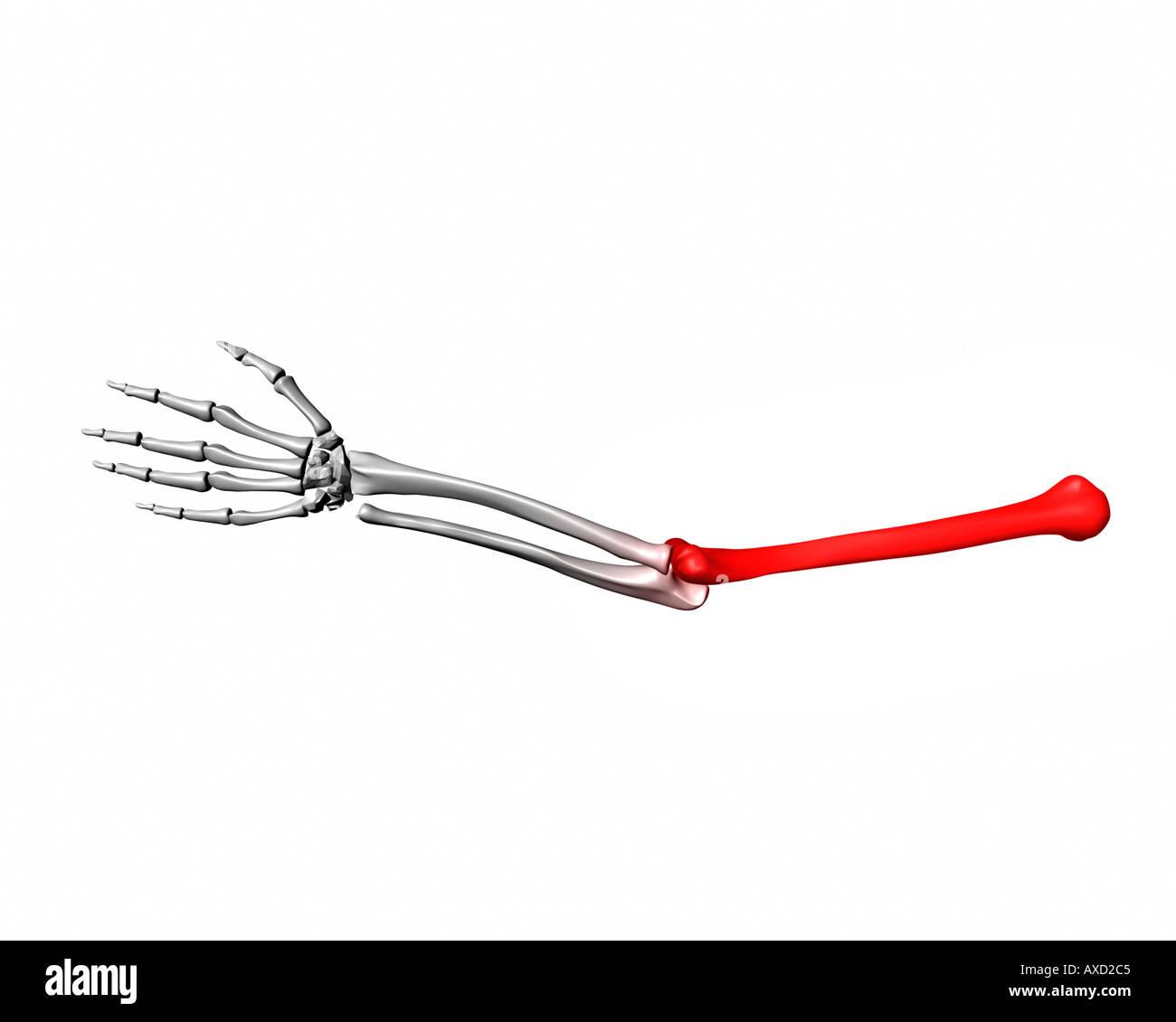 Humorus Knochen rot markiert auf menschlichen arm Stockfoto, Bild ...