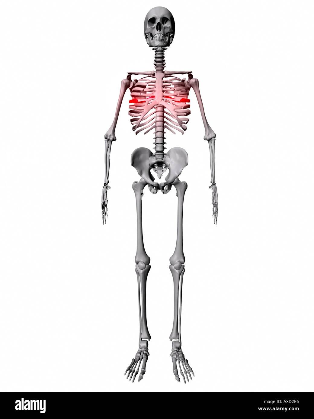 Schön Menschliches Skelett Mit Organen Zeitgenössisch - Anatomie ...