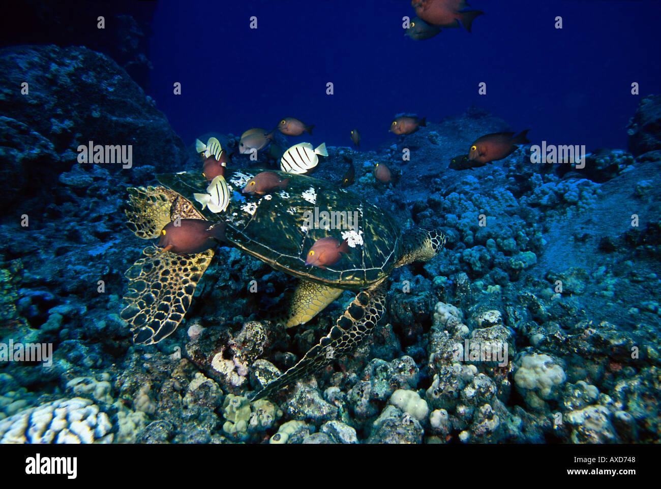 Arbeiten Auf Hawaii zwei arten doktorfisch arbeiten an dieser grüne