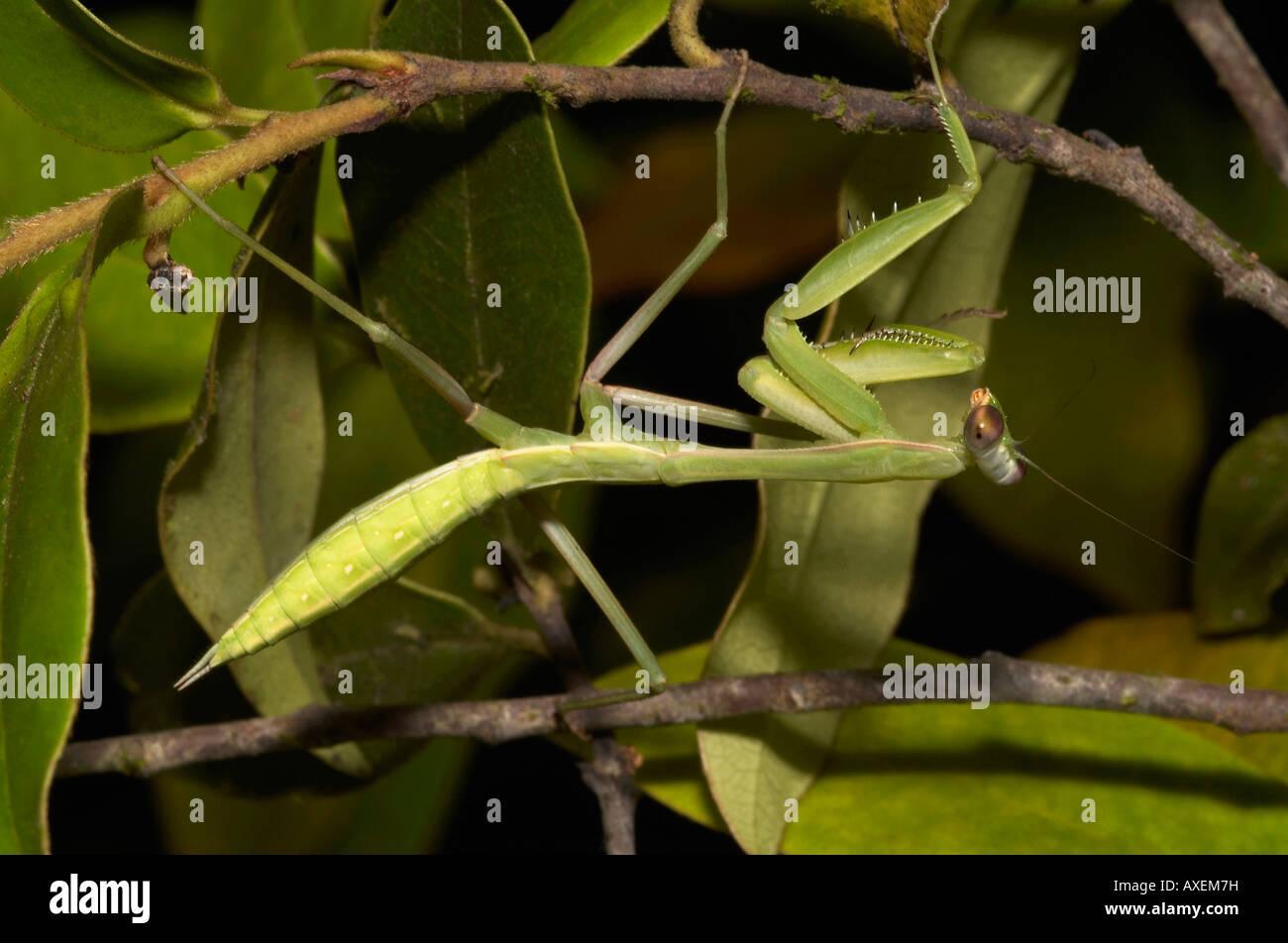 INSEKT, MANTIS. Mantis mit Flügel Knospen. Wahrscheinlich eine flugunfähige erwachsenes Weibchen. Fotografiert Stockbild
