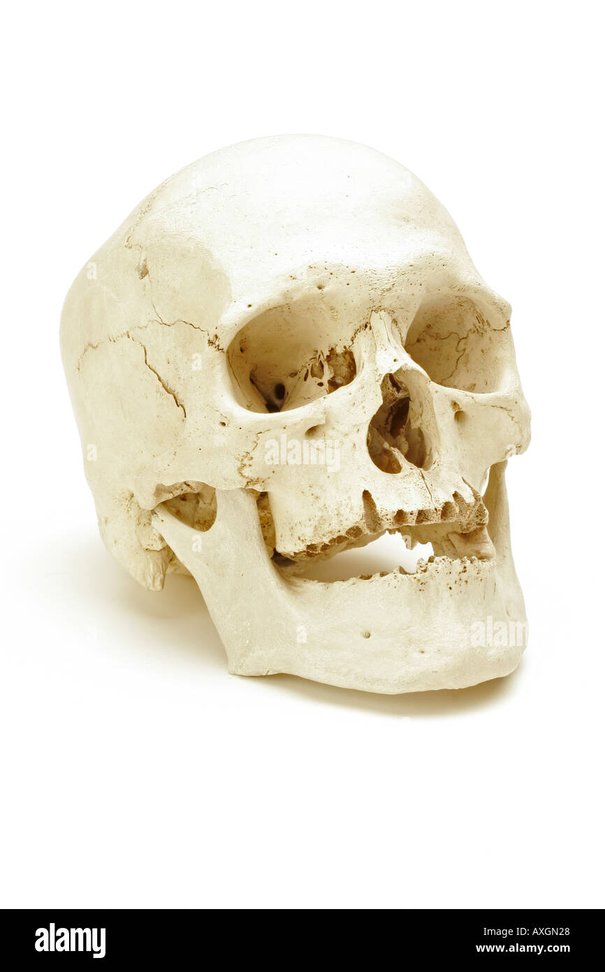 Echte menschliche Schädel auf einem weißen Hintergrund Stockbild