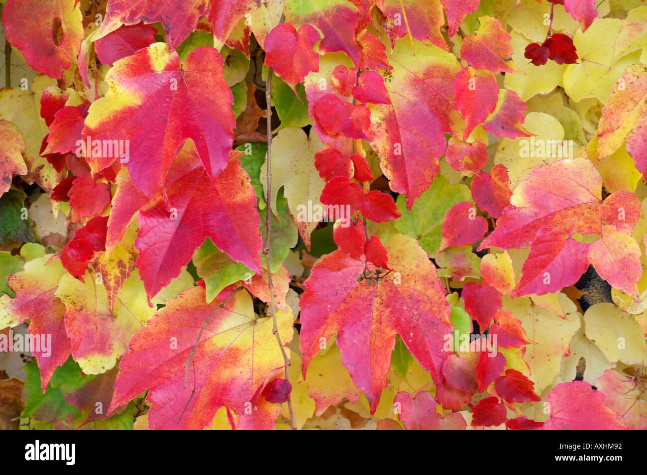 Bunte wilde Rebe Herbst wilder Wein Rote BlätterStockfoto