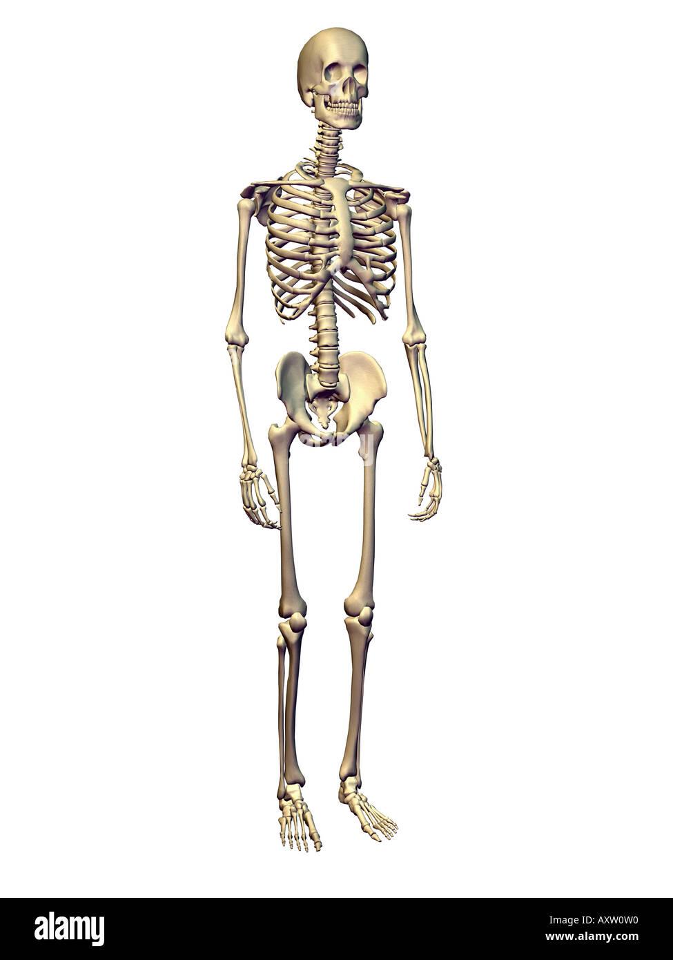 Großzügig Markiertes Skelett Zeitgenössisch - Anatomie Ideen ...