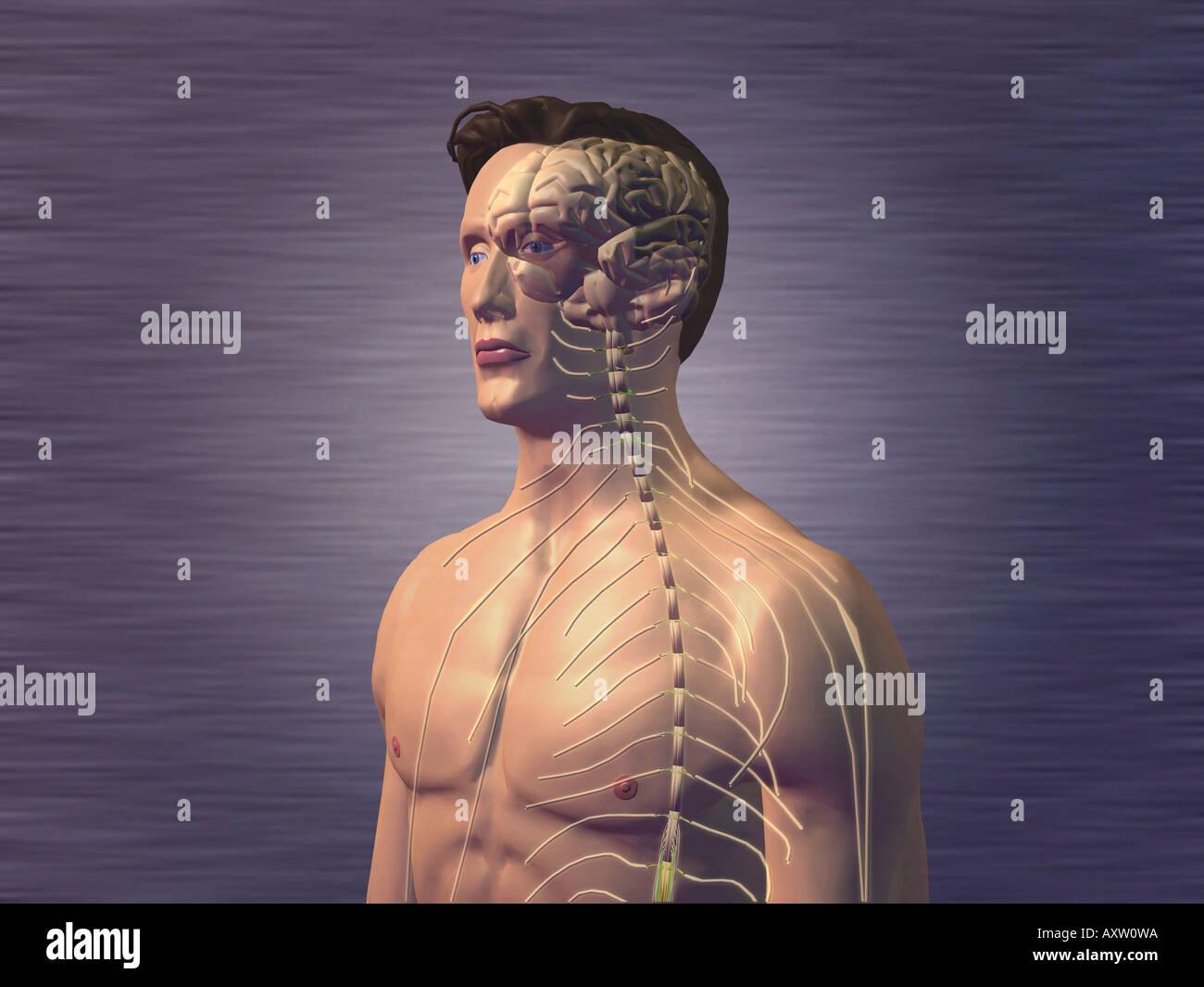 Zentrales Nervensystem Stockfoto, Bild: 9667993 - Alamy
