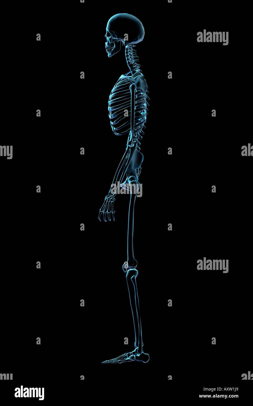 Fantastisch Strukturen Des Skelettsystems Fotos - Menschliche ...