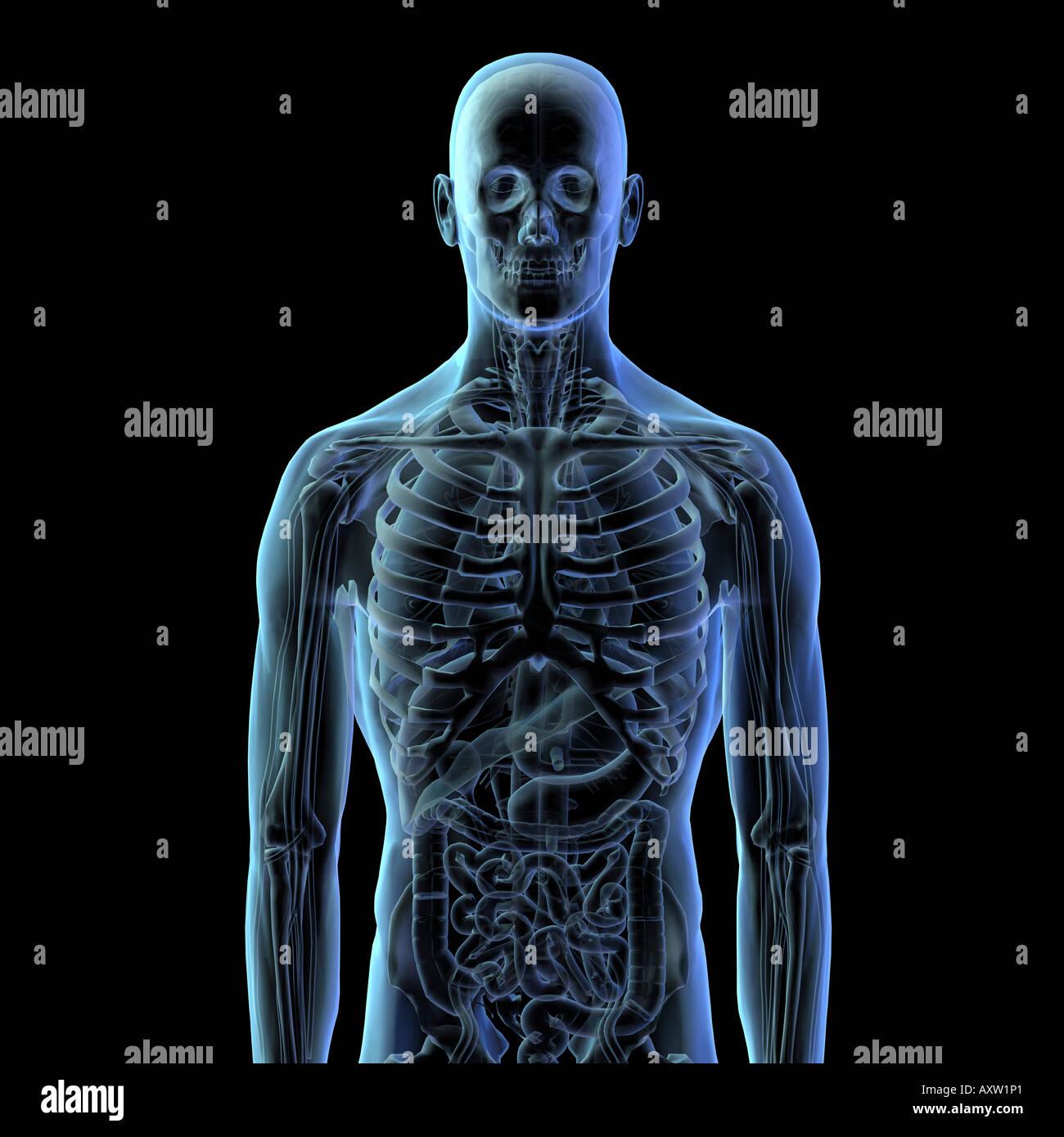 Berühmt Die Organe Des Skelettsystems Ideen - Menschliche Anatomie ...
