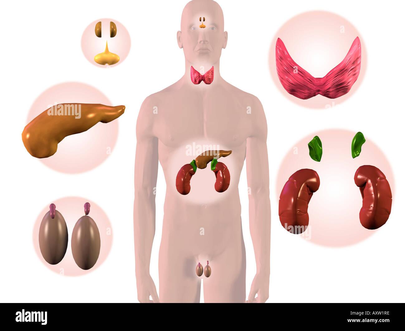 Männliche Hormonsystem Stockfoto, Bild: 9668157 - Alamy