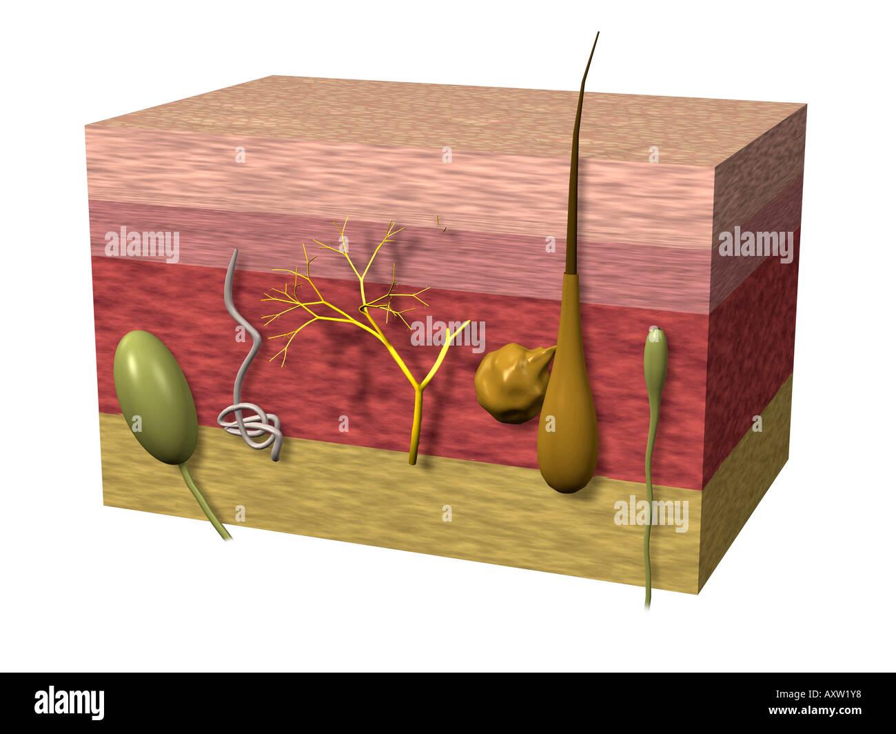 Menschliche Epidermis Stockfoto, Bild: 9668215 - Alamy