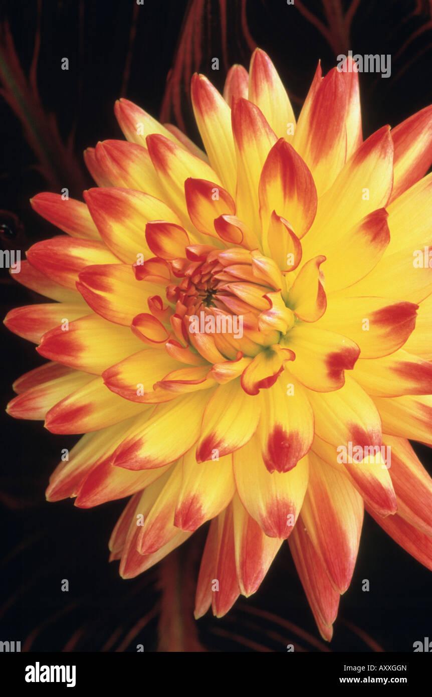 Dahlie 'Bridgeview Aloha', gelbe und rote Blume. Stockbild
