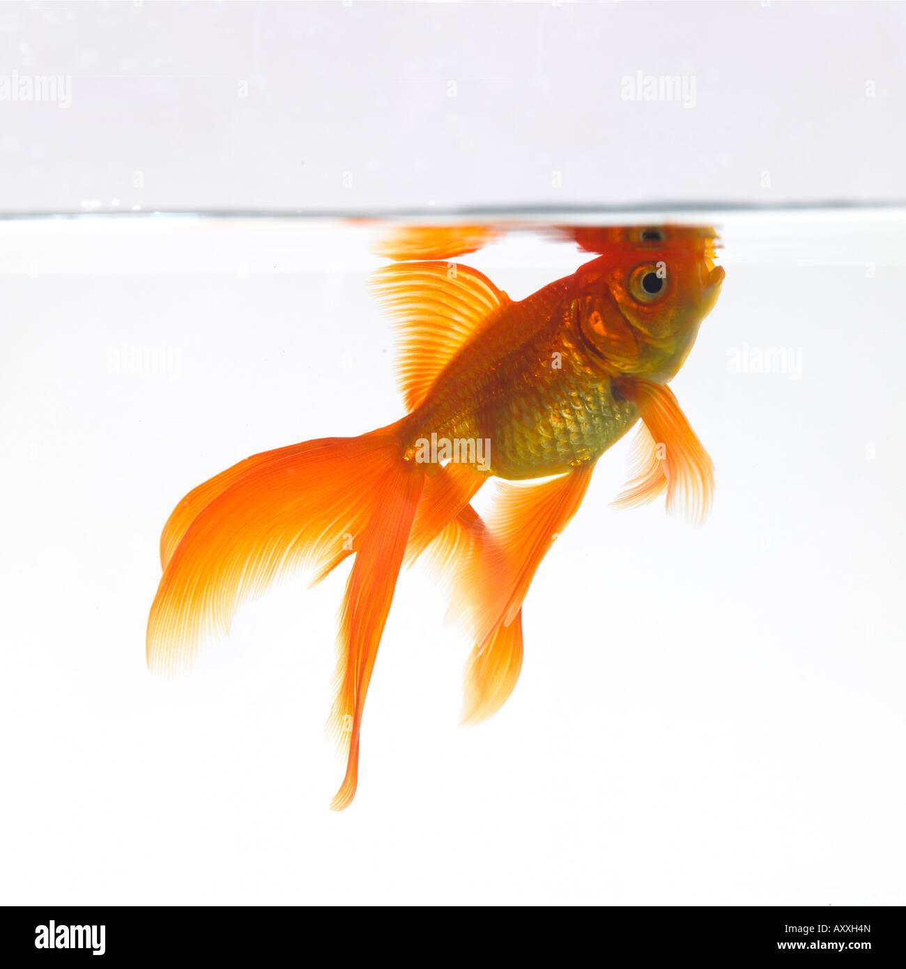 Goldfische knapp unterhalb der Oberfläche des Wassers Stockbild