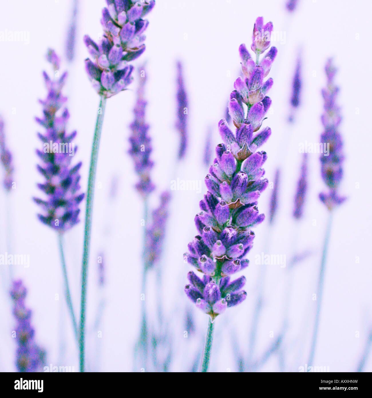 Lavendel, Lavandula, lila Blüten auf Stengeln. Stockbild