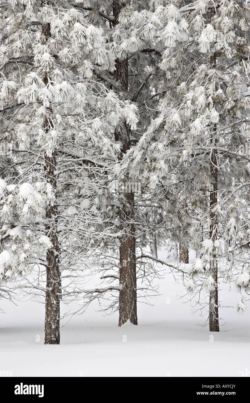Verschneite Tannen, Bryce-Canyon-Nationalpark, Utah, Vereinigte Staaten von Amerika, Nordamerika Stockbild