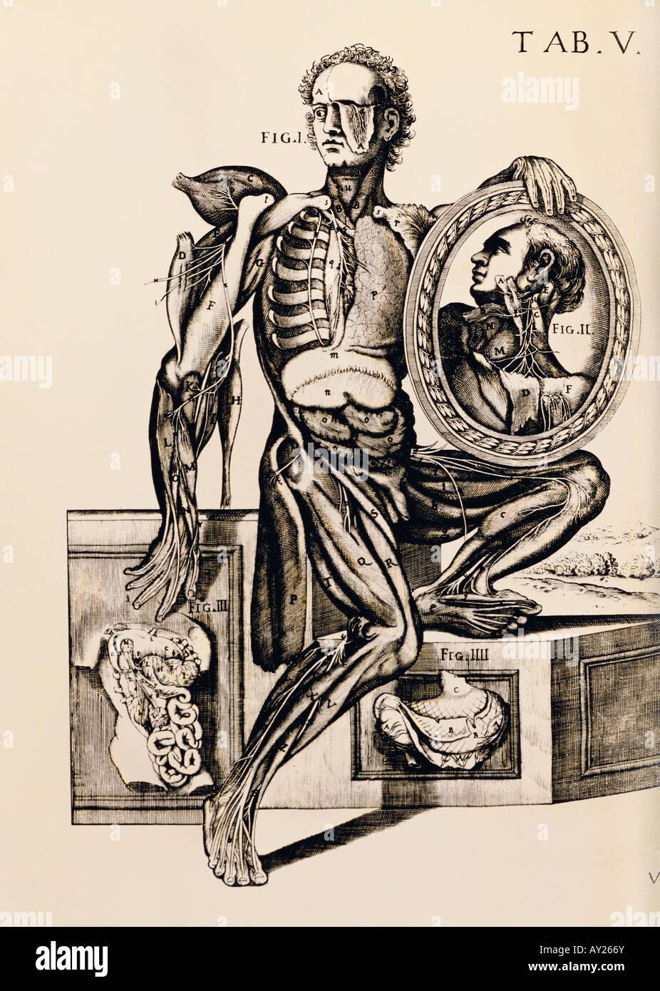 Medizin, Anatomie, teilweise seziert Mann, Kupferstich, anatomischen ...