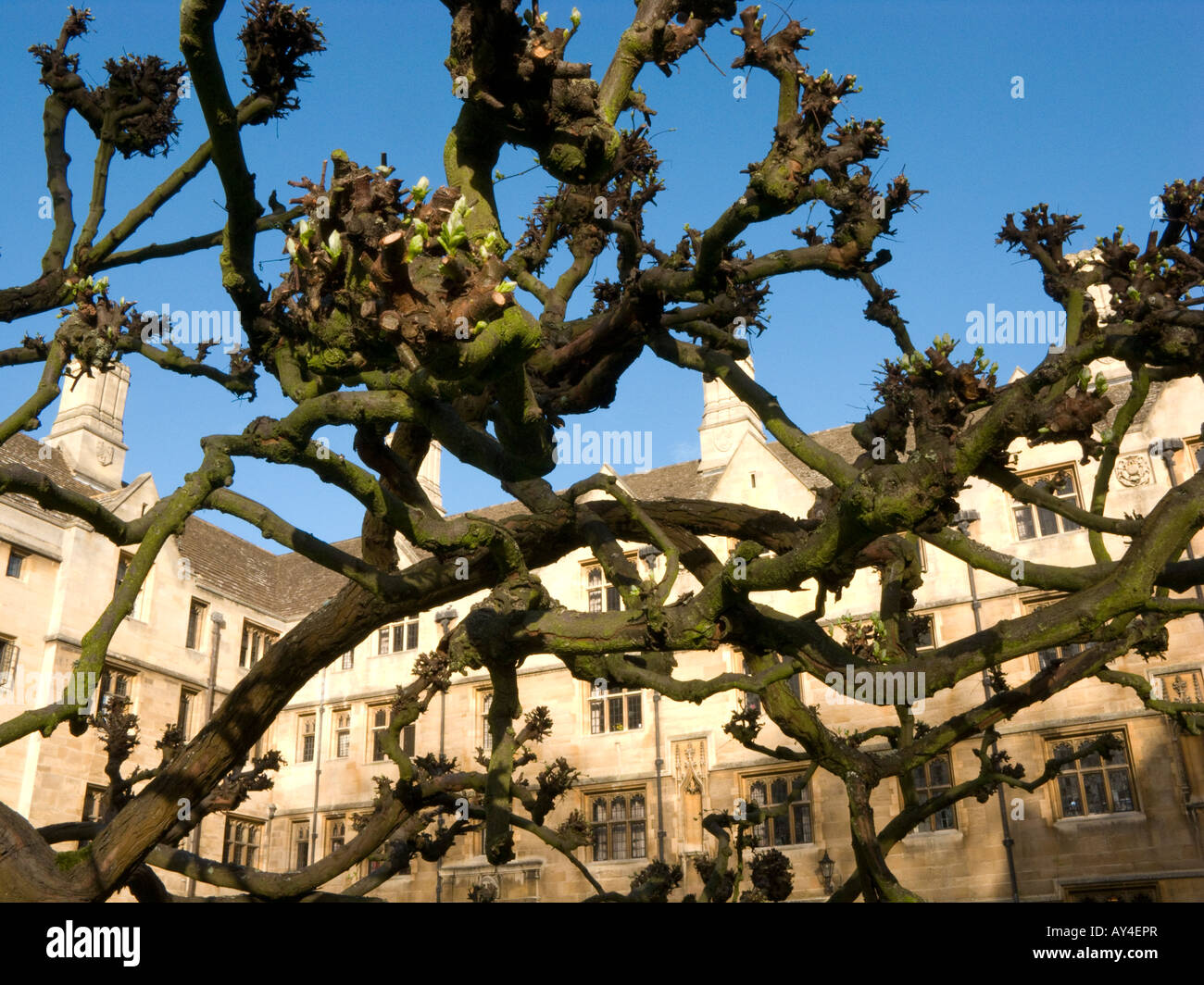 angehende Cydonia Oblonga Quitte Baum am Kings College, Cambridge, UK Stockbild