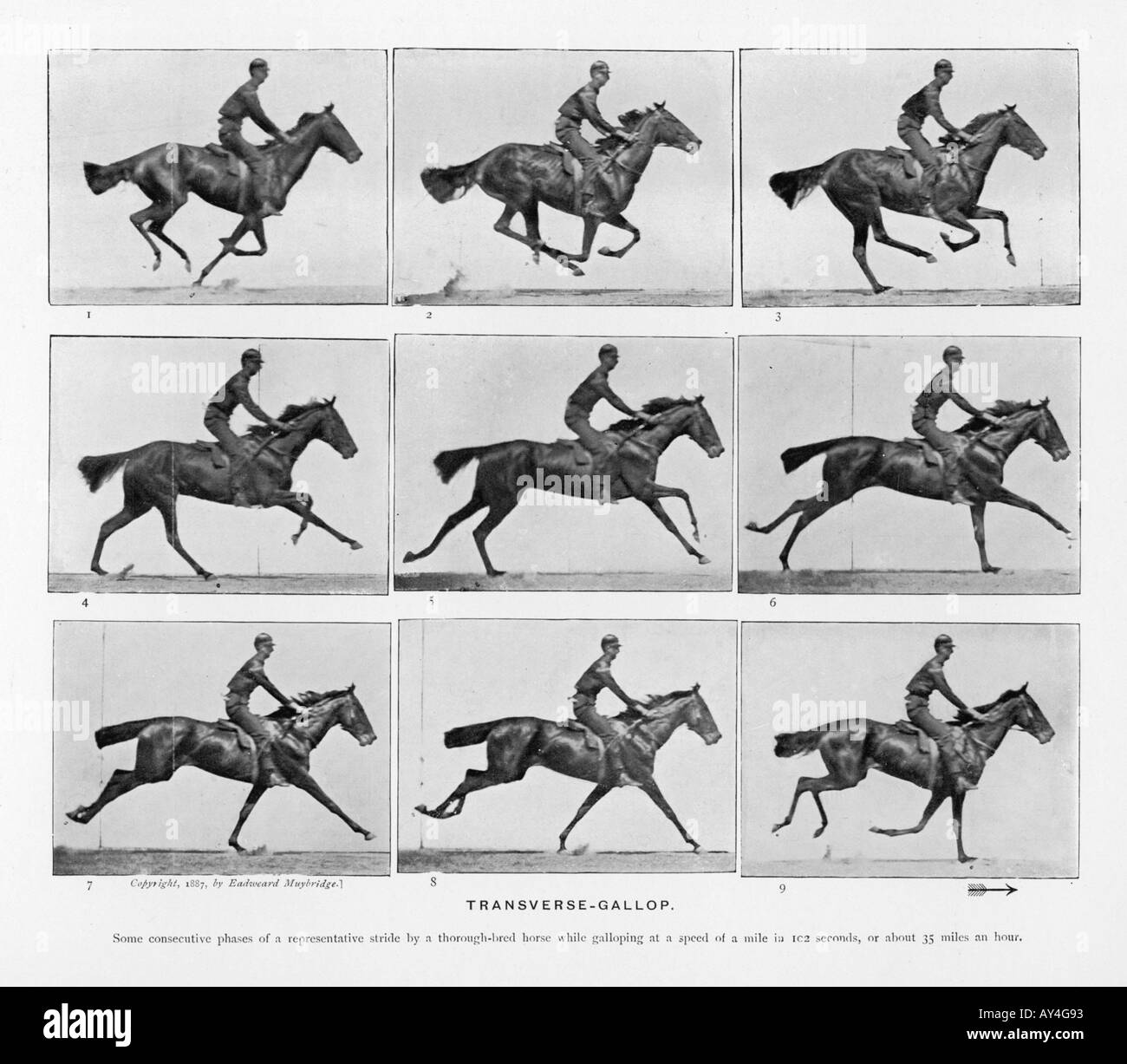 Muybridge Pferde Galopp Stockfoto