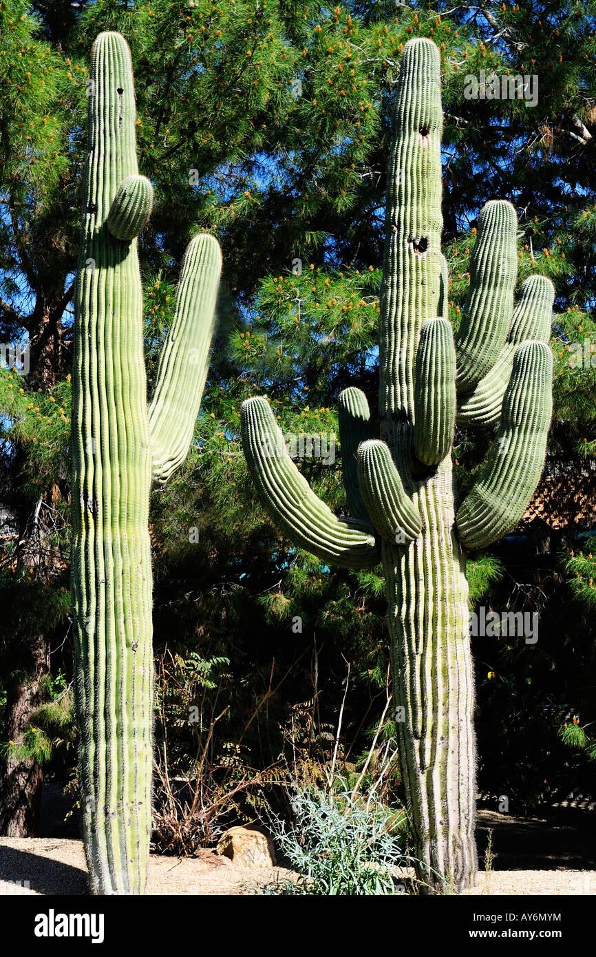 Saguaro-Kaktus in Phoenix Arizona Southwest Nordamerika Stockfoto