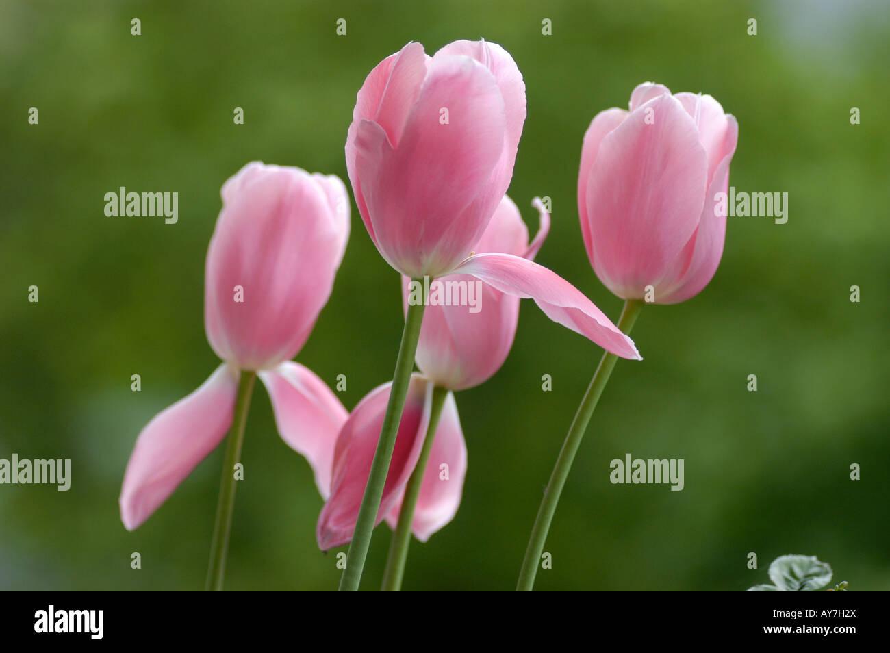 tulipa tulip delight flower stockfotos tulipa tulip delight flower bilder alamy. Black Bedroom Furniture Sets. Home Design Ideas