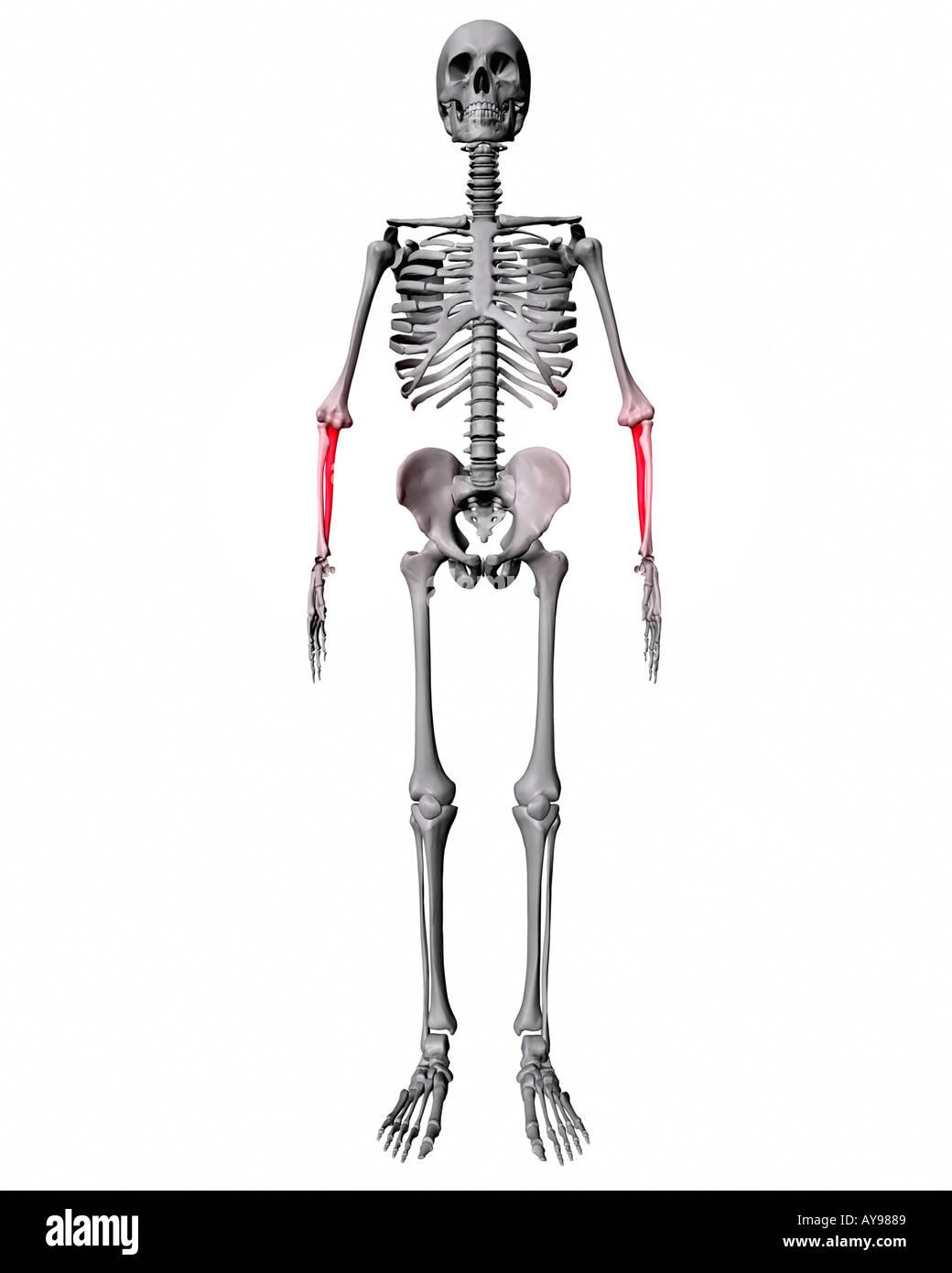 Ulna Bone Stockfotos & Ulna Bone Bilder - Seite 2 - Alamy