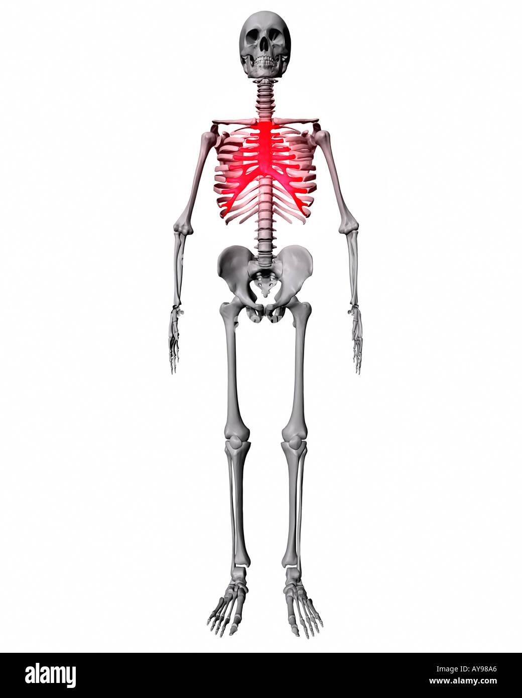 Beste Menschliche Körper Brustbeins Fotos - Menschliche Anatomie ...