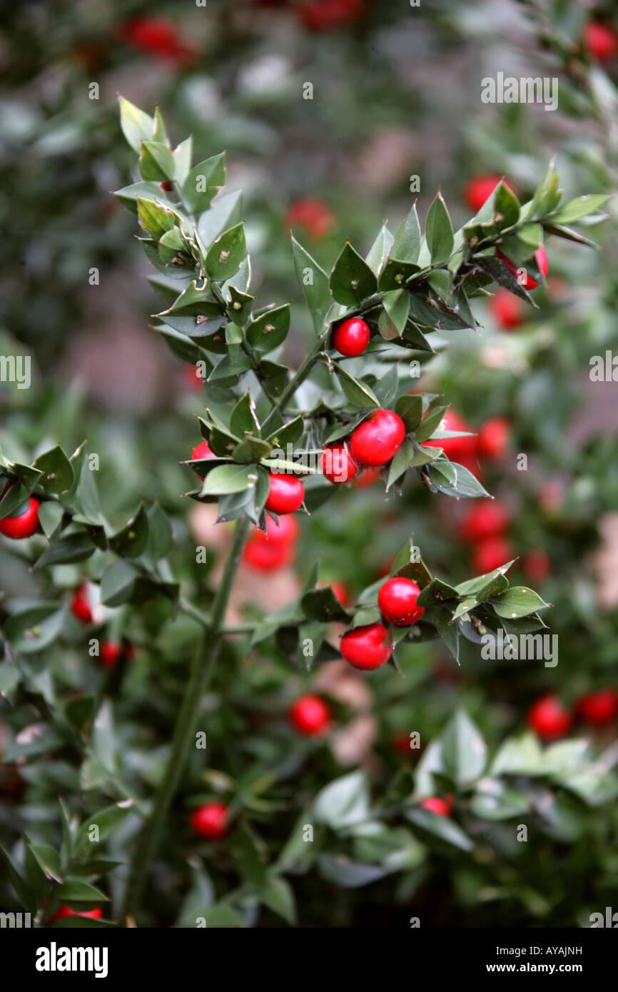 Ruscus Aculeatus Mäusedorn, Hermaphroditum Ruscaceae aka Kneeholly, Knie Holly, Sweet Broom, Pettigree oder Stockbild