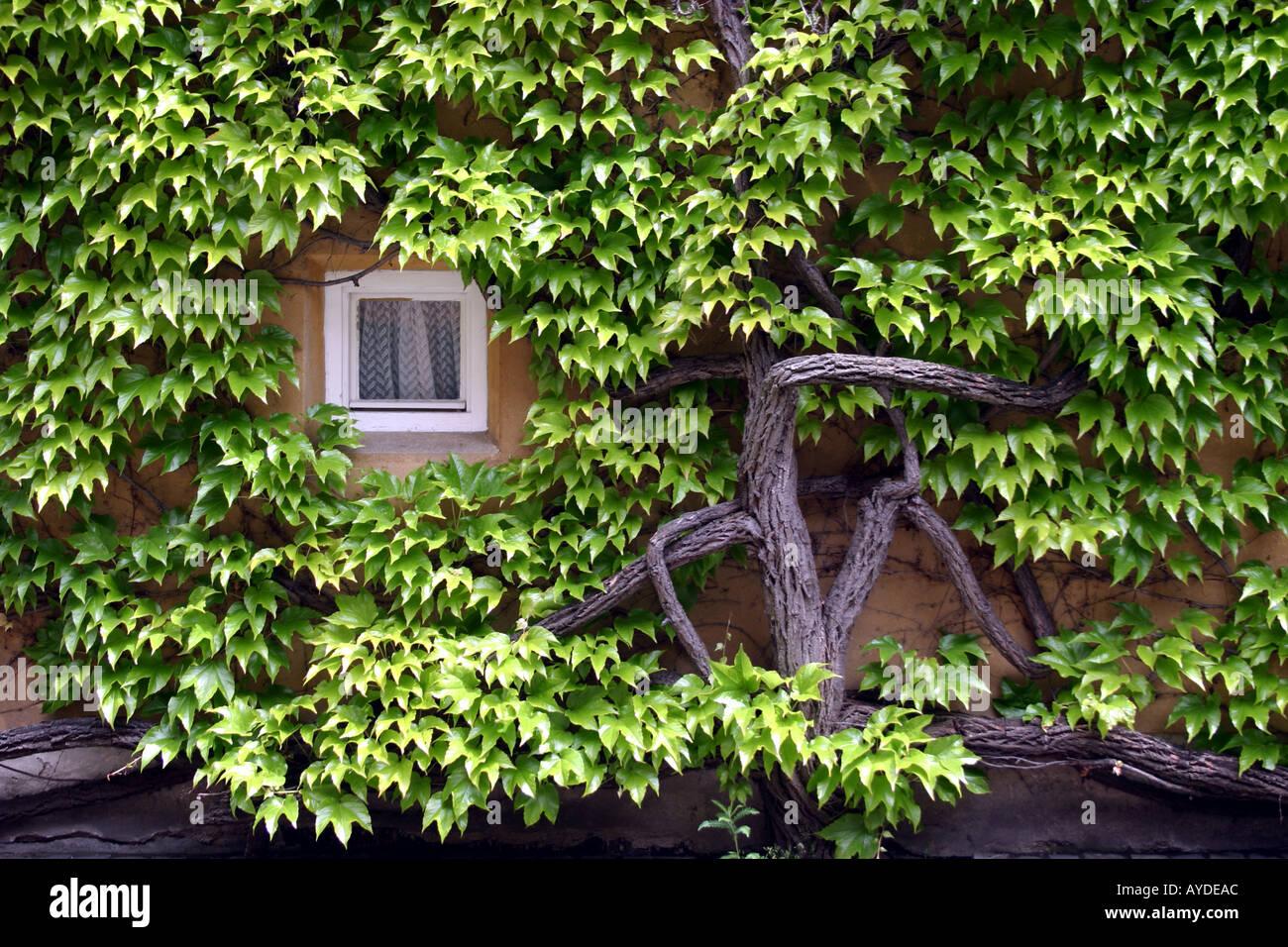 Die älteste Sozialsiedlung Fuggerei in der Welt Augsburg Bayern Haus umgeben von Reben Stockfoto
