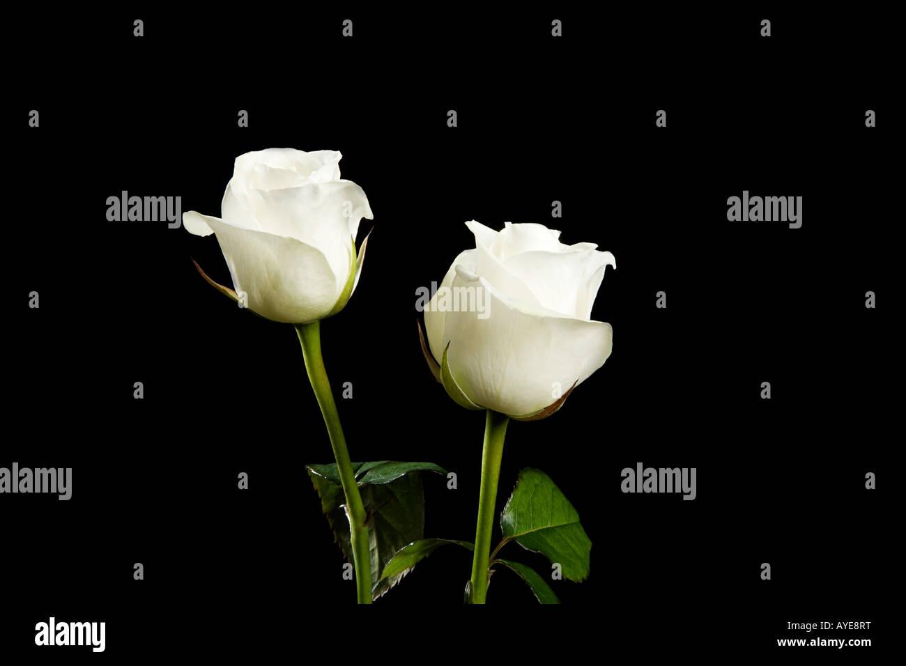 Arten Von Rosen Stockfotos Arten Von Rosen Bilder Alamy