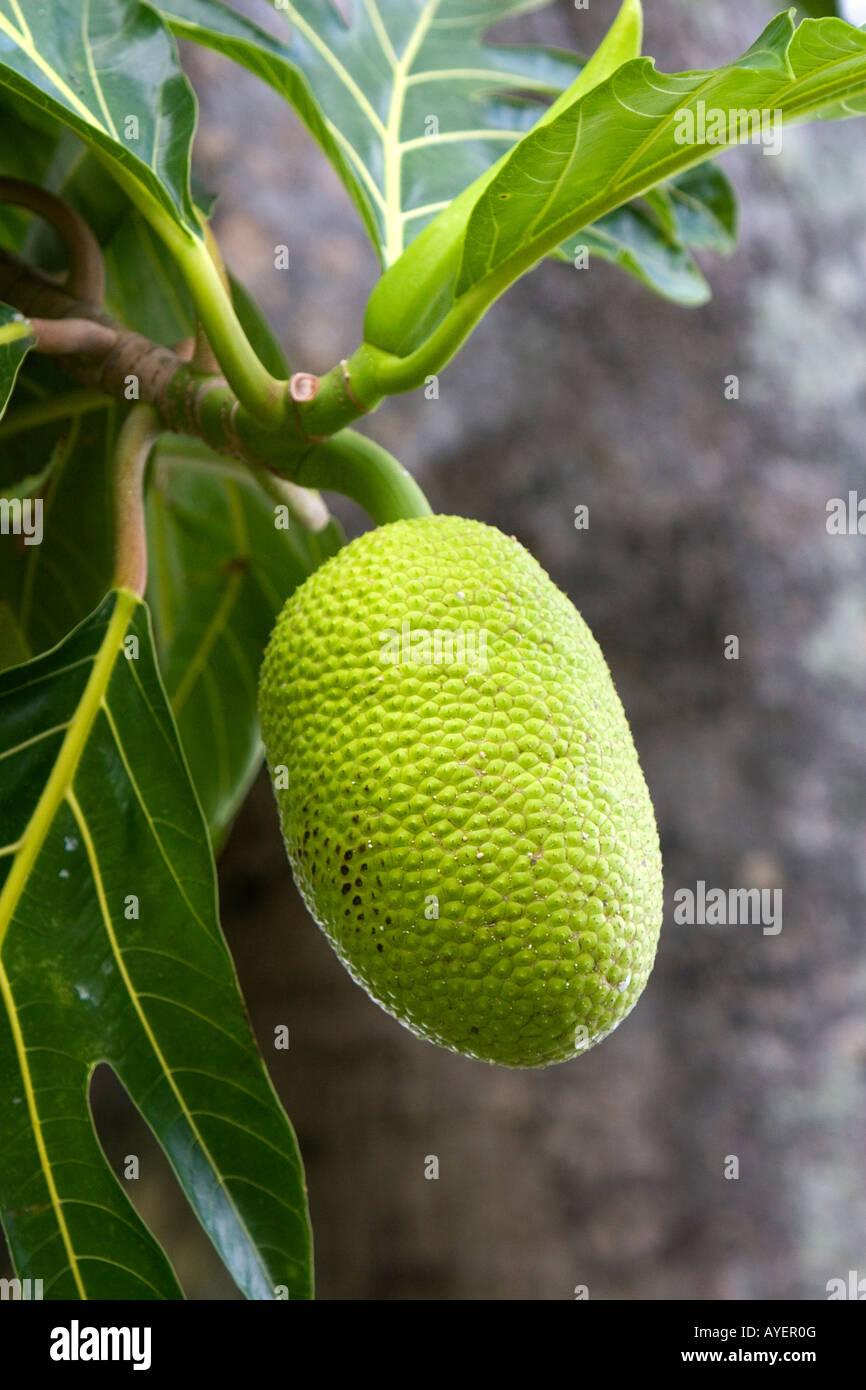 Brotfrucht wächst auf einem Baum auf der Big Island von Hawaii Stockbild