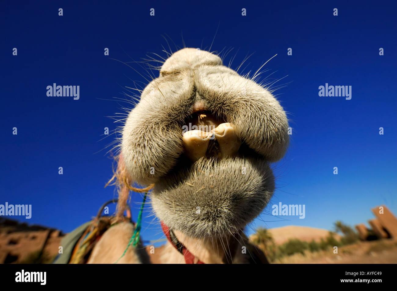 Kamel Camelus Dromedare gehen können 7 Tage ohne Nahrung und Wasser und ein Viertel seiner Körper Gewicht Nordafrika und der arabischen verlieren können Stockbild
