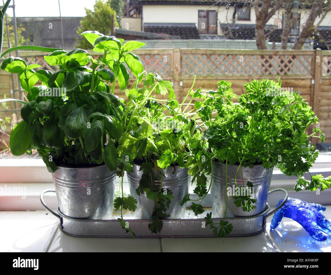 Kräuter auf der Fensterbank Küche Stockfotografie - Alamy