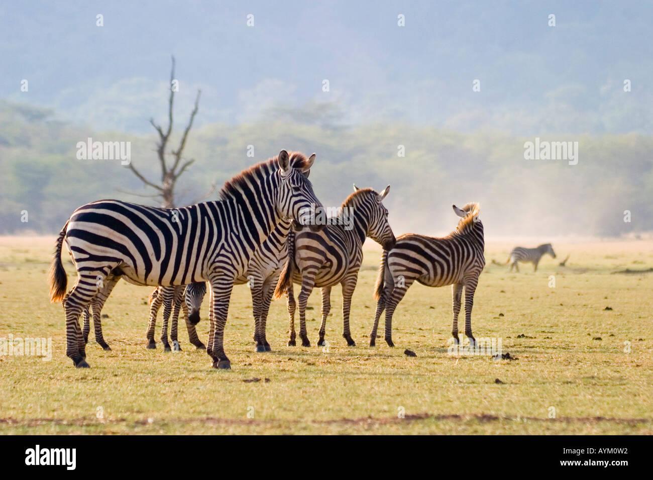 Eine Herde von gemeinsamen Zebras grasen auf den Ebenen neben Lake Manyara in East African Rift Valley in Tansania. Stockfoto