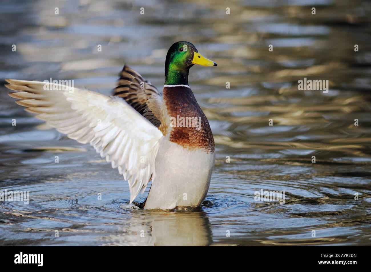Stockente (Anas Platyrhynchos) mit den Flügeln im Wasser Stockbild