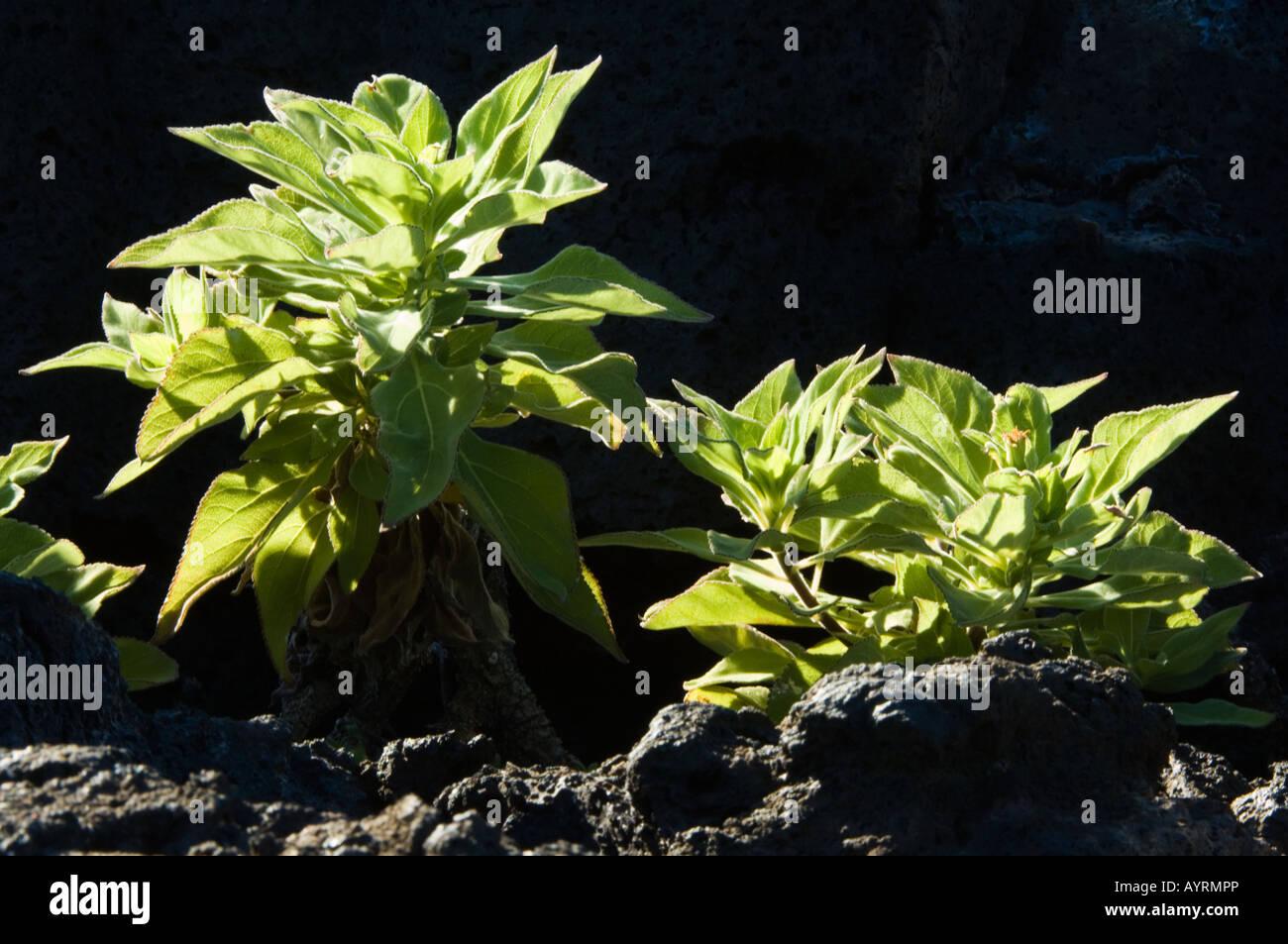 Strahlen Sie Leitung Scalesia (Scalesia Affinis) endemischer Strauch Punta Moreno Isabela Galapagos Ecuador Stockbild